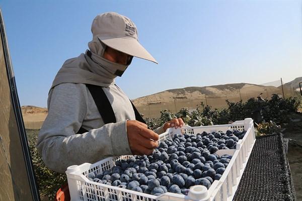 La Libertad y Áncash aparecen como grandes exportadores de arándanos